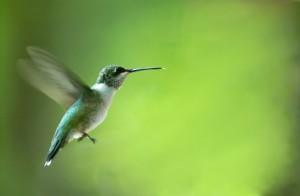 iStock_000002254687XSmall-hummingbird-300x196